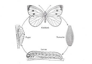 Ipek Böceği Başkalaşım Evreleri Böcek Ilaçlama