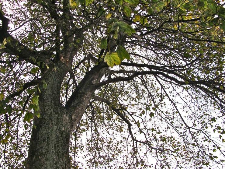 Endangered old tree