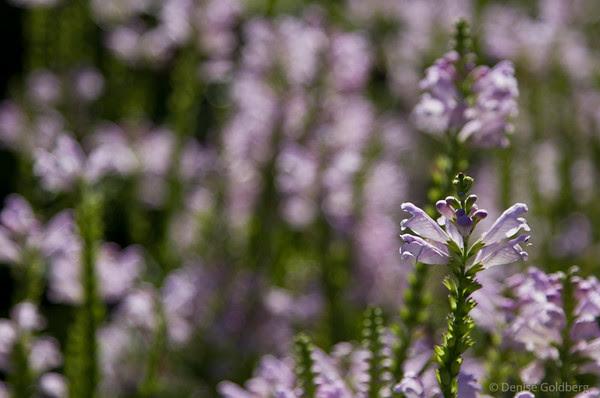 purple, perennial
