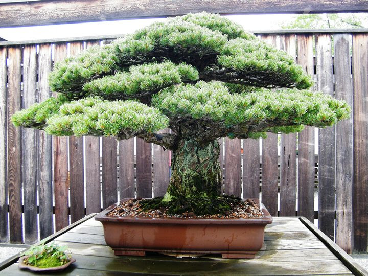 Old bonsai tree survived Hiroshima