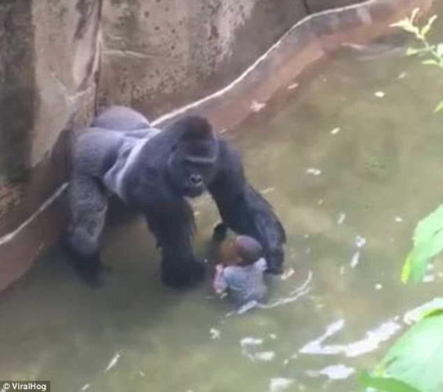 A special zoo response team shot and killed a 17-year-old gorilla named Harambe to protect a four-year-old who fell in the enclosure. But new video footage shows the two briefly holding hands (pictured)
