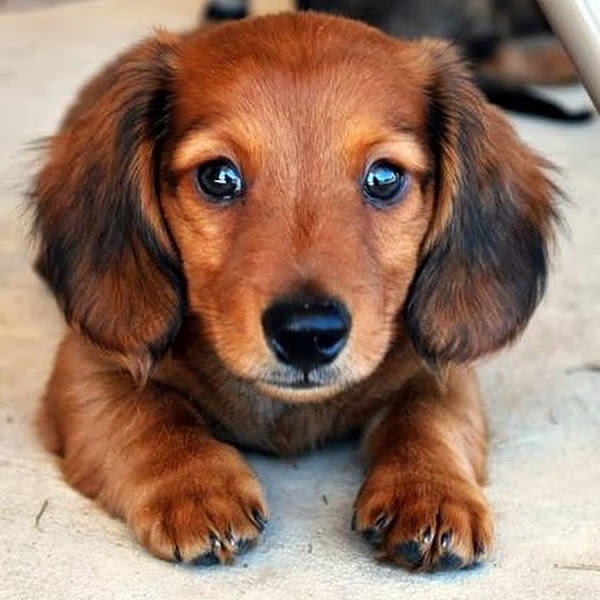 Buy Dachshund Puppies For Sale In Italy