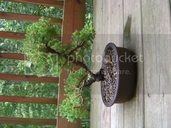 Bonsai on the back deck
