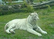 A white tiger in captivity at Wrocław zoo.  The presence of stripes indicate it is not a true albino.