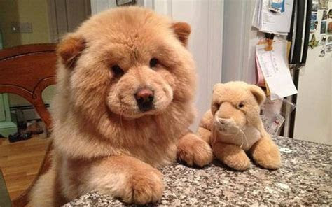 Pet Blog   Dogs, Cats, Fishes and Small Pets Blog Teddy Bear Dog Breed Images   Pets World