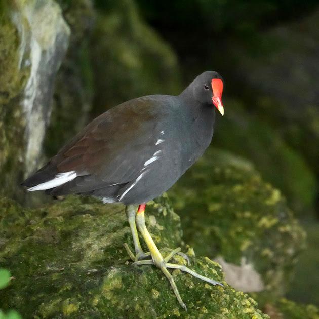 Ed Gaillard: birds &emdash; Common Gallinule, New Providence, Bahamas