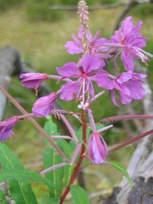 Лекарственные растения - Кипрей