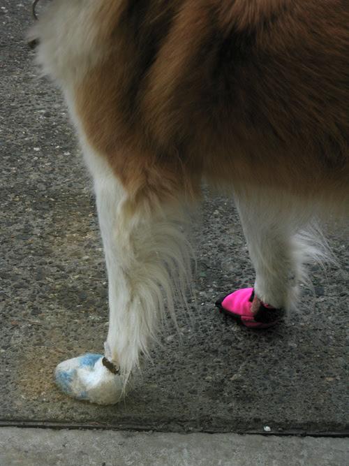 dog with fashionable footwear, Anchorage, Alaska