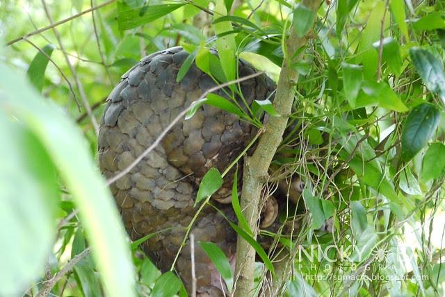 Sunda Pangolin (Manis javanica) - P1040728