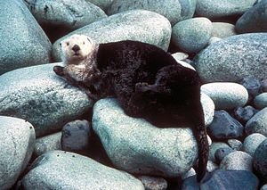 A sea otter's thick fur makes its body appear ...
