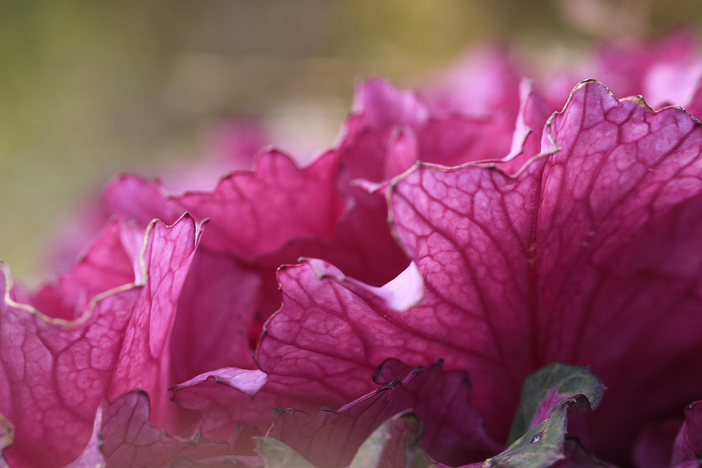 decorative cabbage2