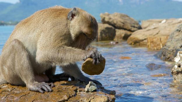 Long-tailed macaques live on islands in Thailand (Credit: Mark MacEwen/NPL)