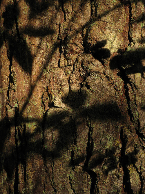 leaf shadows on a tree, Kasaan, Alaska