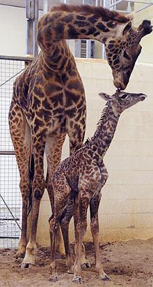 ap_cincinnati_zoo_giraffe_jp_ss_110404_ssv