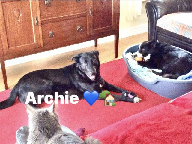 Archie – 2 year old male Cross-Breed