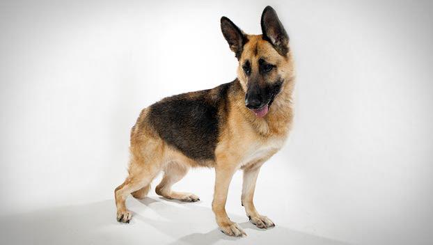 German Shepherd : Dog Breed Selector : Animal Planet