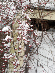 SnowBerries_11209b