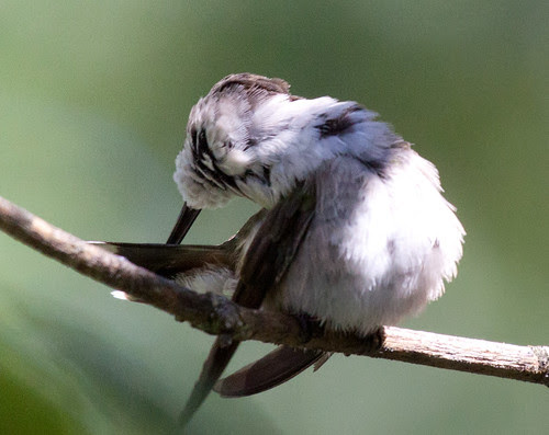 Ruby-throated Hummingbird preening