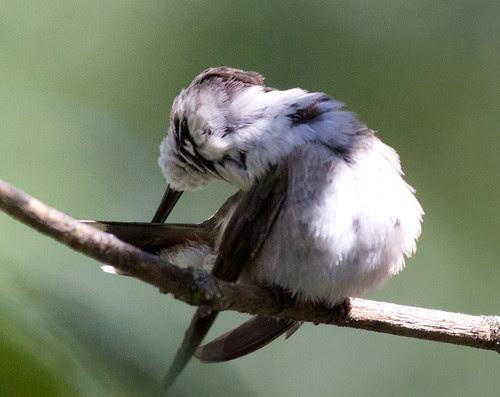 Ruby-throated Hummingbird preening