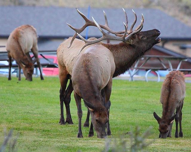 IMG_0125 Bull Elk Bugling, Mammoth Hot Springs