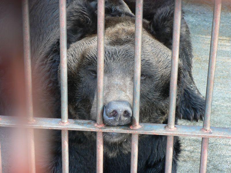 Sad bear in cage