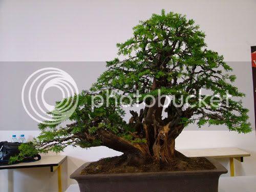 Cedar of Lebanon,Maples,Figs Bonsai Pack
