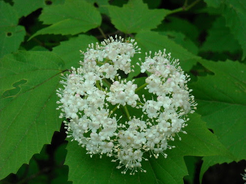 Arrowwood Flower