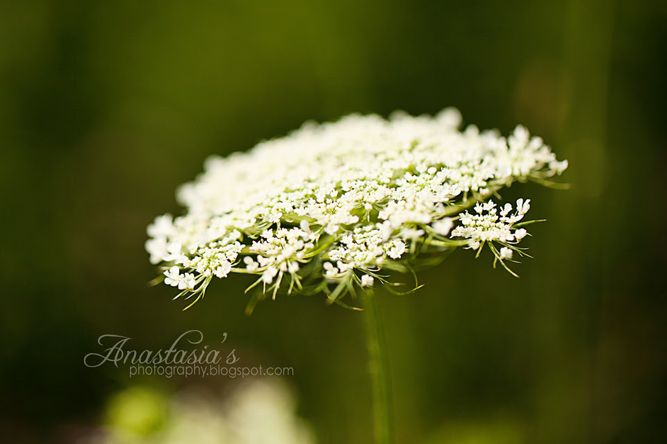 Summer Queen Anne's lace