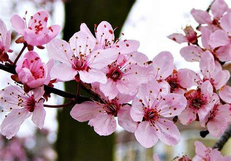 gambar wallpaper bunga sakura jepang cantik  ig