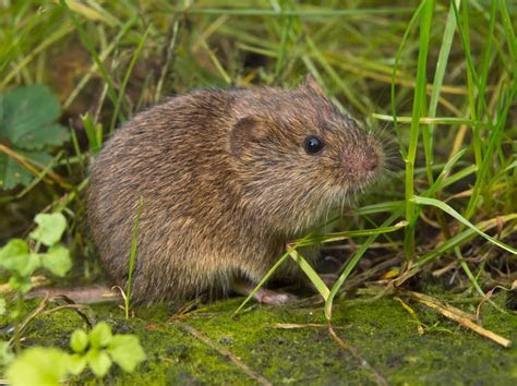 Voles Trapping & Removal in Virginia   Professional Pest Control