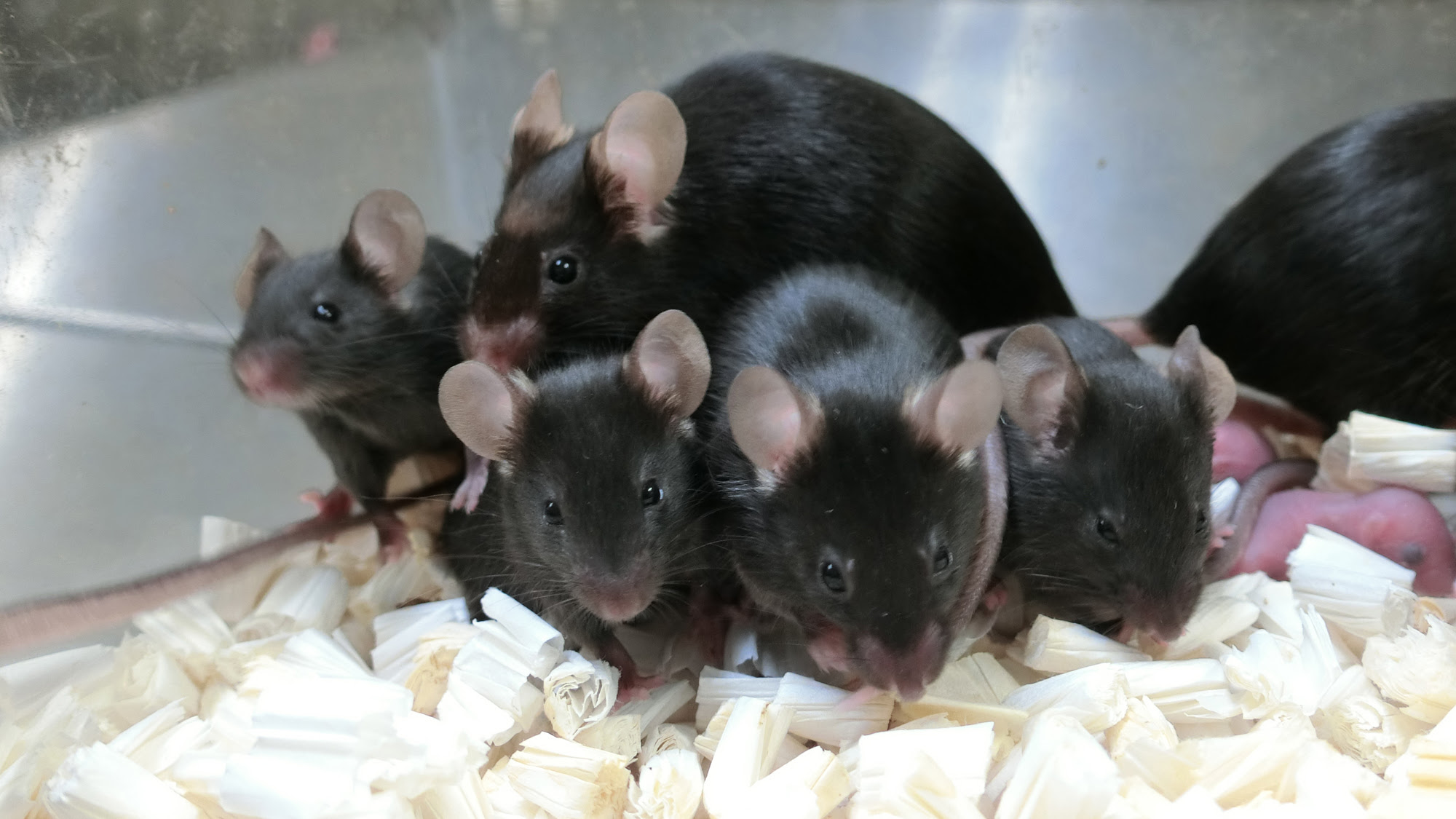 'Space pups' born from freeze-dried mouse sperm stored on space station