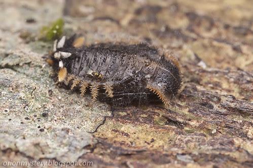 Endomychidae larva with parasitoid wasp IMG_3821 copy