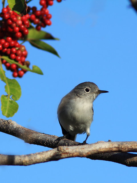 Blue-gray Gnatcatcher 2-20131206