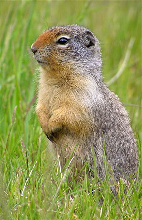 Columbian ground squirrel   Wikipedia