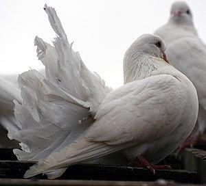 A little White Dove