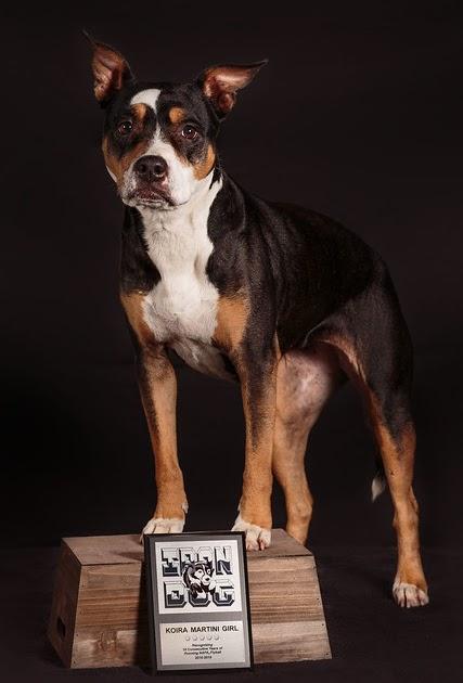 Koira Iron Dog