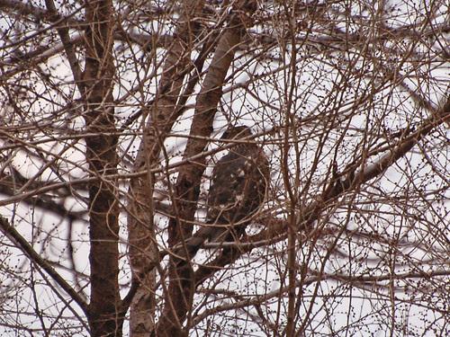 Coopie Hiding in the Treetops