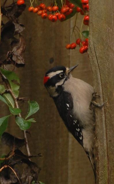 woodpecker '11
