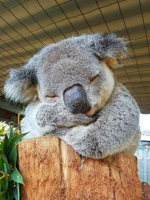 ユーカリの葉が大好き超キュートなコアラの高画質な画像まとめ 写真