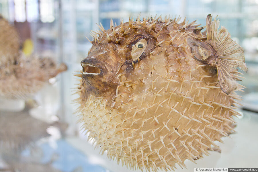 Ёж-рыба в музее ракушек Корфу