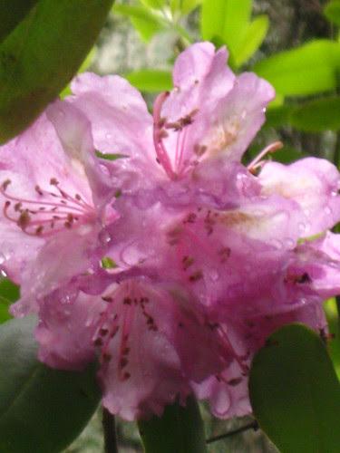 rododhendron