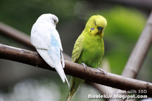 light blue and green parakeets