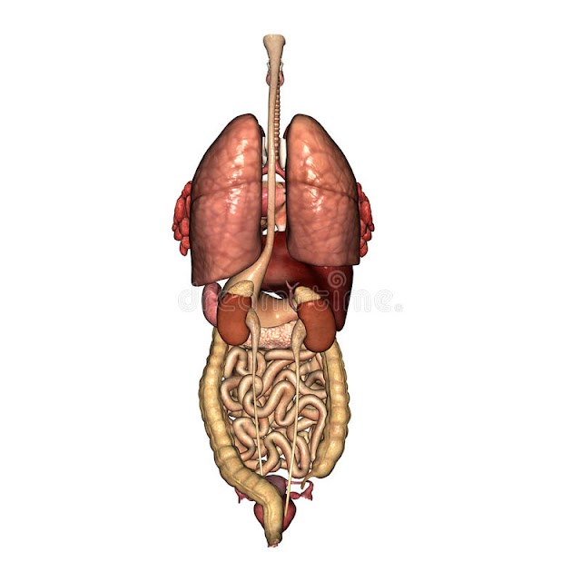 Anatomy Of Internal Organs Female : Female Upper Body Anatomy And Internal Organs Computer Illustration Artwork Lungs Stock Photo 308609414