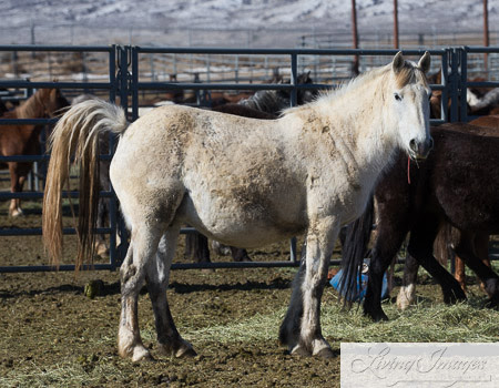 One of the extremely pregnant mares