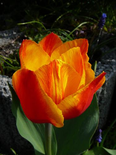 Tulpen 2008 (03)