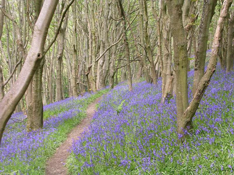 Bluebell Woods, taken on the coast path on Salcombe Hill above Sidmouth, Devon. Photographer Susan Turk, Somerset.