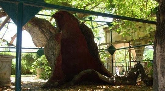 Ο κορμός του πλατάνου-απόγονου του δέντρου του Ιπποκράτη, μοιάζει σαν σπηλιά