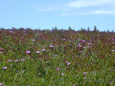 lavendarflowers