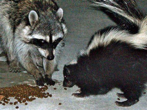 File:Urban raccoon and skunk   Wikimedia Commons