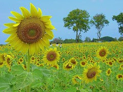 Love...Sunflowers....